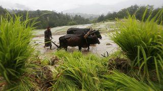 مزارع نيبالي بحرث ارضه في ضواحي لاليتبور. 2020/06/29