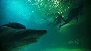 Bikacápa és búvárok a madridi állatkert akváriumában