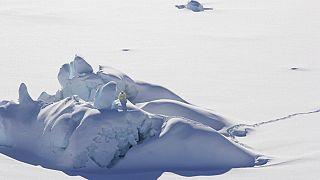 jegesmedve Grönlandon