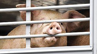 Schweine-Transport kommt an der Tönnies-Fleischerei, dem größten Schlachthof Europas, in Rheda-Wiedenbrück an, 16.07.2020