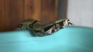 الأَصَلَةُ أو البُوَاءُ (بالإنجليزية: Boa) فصيلة من الثعابين العاصرة