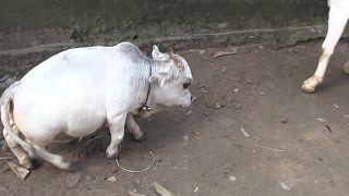 بقرة قزمة تتحول إلى معلم سياحي في بنغلاديش