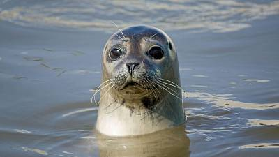A seal looks out from the water