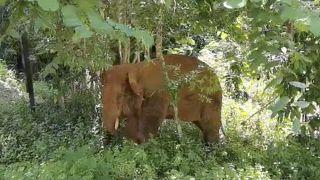 الفيل الذي ترك قطيعه الشارد في الصين.. يعود إلى محميته بسلام