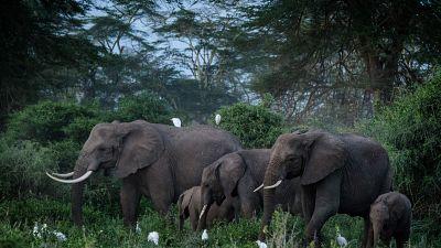 """Le Kenya s'inquiète d'un projet de """"réensauvagement"""" d'éléphants"""