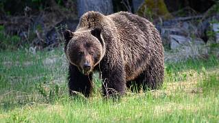 خرس خاکستری یا گریزلی