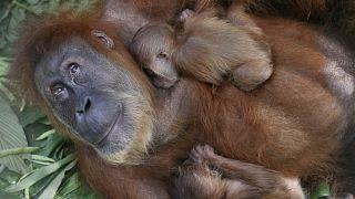 اورانگوتان در معرض انقراض بچه زایید
