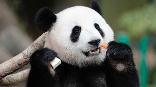 Çin'deki pandalar