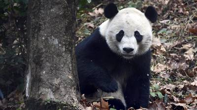 Giant panda Bei Bei on his first day at the Giant Panda Conservation and Research Center in Ya'an in China's Sichuan Province Nov. 21, 2019.