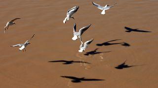 طيور النورس تطير فوق نهر دجلة في بغداد. 2013/02/03