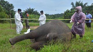 Endonezya'da bir fil kafası kesik halde bulundu