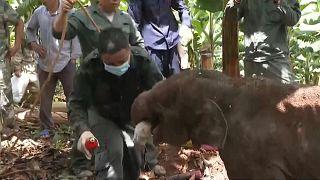 إنقاذ فيل صغير انفصل عن قطيع الفيلة الشهير الهائم في الصين