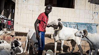Sénégal : les moutons géniteurs s'arrachent pour Tabaski