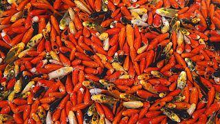 Aranyhalak tömege egy piacon (illusztráció)