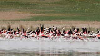 Tuz Gölü'nde flamingo ölümleri