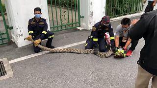 Insolite : un python se balade dans un parc de Bangkok