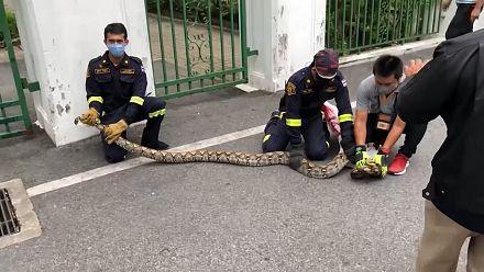 Firefighters catch python found on Bangkok park