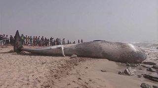 حوت ضخم نافق بطول يزيد عن ثمانية أمتار قذفته مياه البحر على سواحل المغرب.
