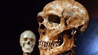 یک اسکلت بازسازی شده نئاندرتال، راست، و یک اسکلت انسان مدرن، سمت چپ، در موزه تاریخ طبیعی نیویورک
