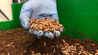 Europe Edible Insects