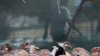 İstanbul'da bir kurbanlık koyun pazarı