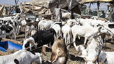 Eid al-Adha celebration casts light on endangered sheep trade in the sahel