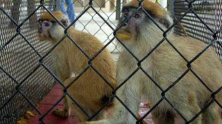 میمونها عامل سرایت ویروس بی