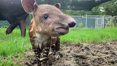 Endangered Baird's Tapir Born at Audubon Zoo