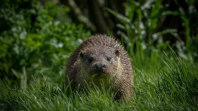 These elusive creatures are making a comeback in Europe but their future is still uncertain.