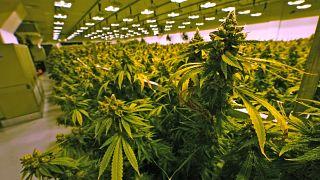 17 giugno 2021: piante di cannabis poco prima di essere raccolte in una stanza di coltivazione presso la struttura Greenleaf Medical Cannabis a Richmond, in Virginia