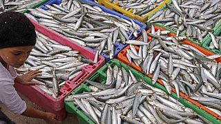 O espectáculo das sardinhas no hemisfério sul