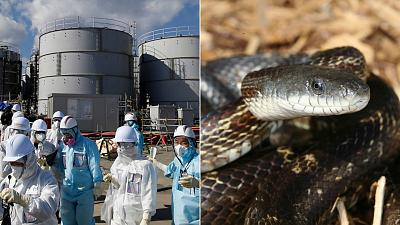 Fukushima nuclear disaster / Snakes are helping scientists sniff out radioactivity