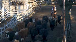 A partir de enero la campana de la subasta de ganado sonará a sesenta kilómetros de Liniers