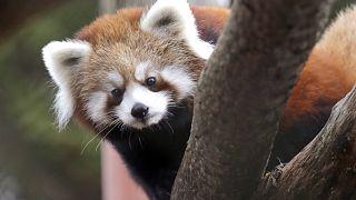باندا أحمر في حديقة حيوان وودلاند بارك في سياتل، الولايات المتحدة الأمريكية.