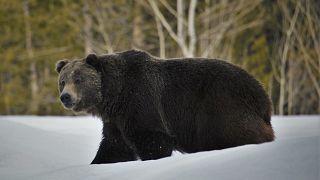 الدبّ الرمادي