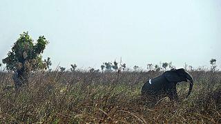 """RDC : les conservationnistes décrient la """"libéralisation du braconnage"""""""