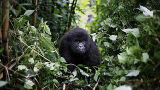 Congolese park taken off endangered list - UNESCO