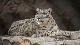 Ramil, a san diego-i állatkert hím hópárduca