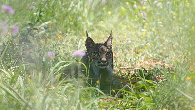 The Iberian Lynx makes a comeback in Spain after near extinction