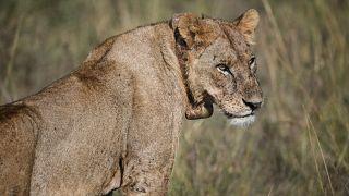 Kenya: panic as lion strays outside Nairobi National Park for a few hours