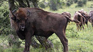 """Un bison dans un sanctuaire faunique de Milovice, en république Tchèque. Les bisons sont passés en 2021 du statut de """"vulnérable"""" à """"quasi menacée"""" pour l'IUCN"""