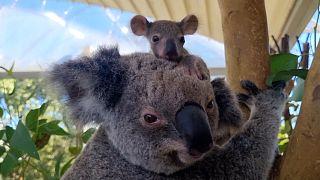 В Сиднейском зоопарке родился коалёнок
