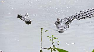 Крокодилья любовь