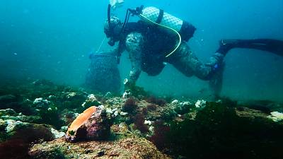 A diver collects rapa whelk off the Black Sea coast of Bulgaria