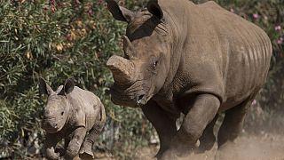Afrique du Sud : hausse du nombre de rhinocéros tués en 2021