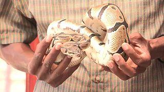 Burundi : le business florissant des serpents