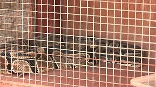 Snake breeding business picks up pace in Burundi