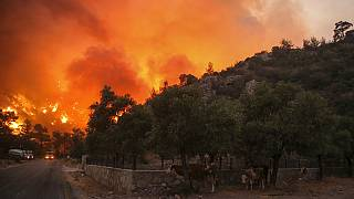 Cows shelter close to an advancing fire that rages Cokertme village, near Bodrum, Turkey, Monday, Aug. 2, 2021