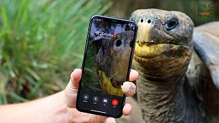 Tortoises in Somersby, Australia on a FaceTime call.