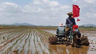 برنجکاران کره شمالی